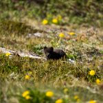 Polarfuchs, Eisfuchs, Arctic Fox, Vulpes Lagopus