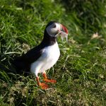 Papageitaucher, Puffin, Fratercula arctica